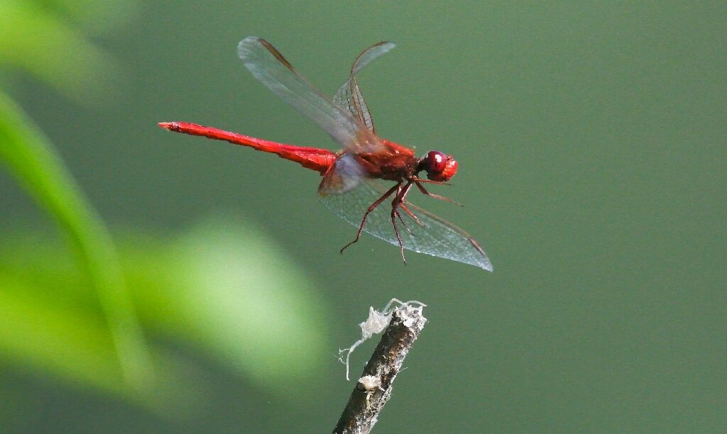Half-a-million insect species face extinction