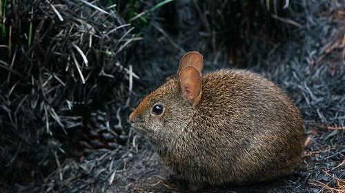 Endemic rabbit threatened by weekend hordes of volcano gawkers