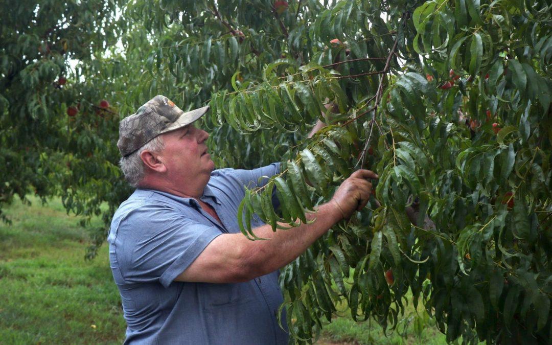 Missouri farmer Bill Bader with his peach trees