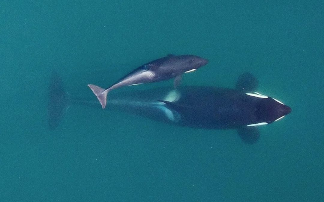Conservationists Say Salmon Fishing Plan Imperils Whales
