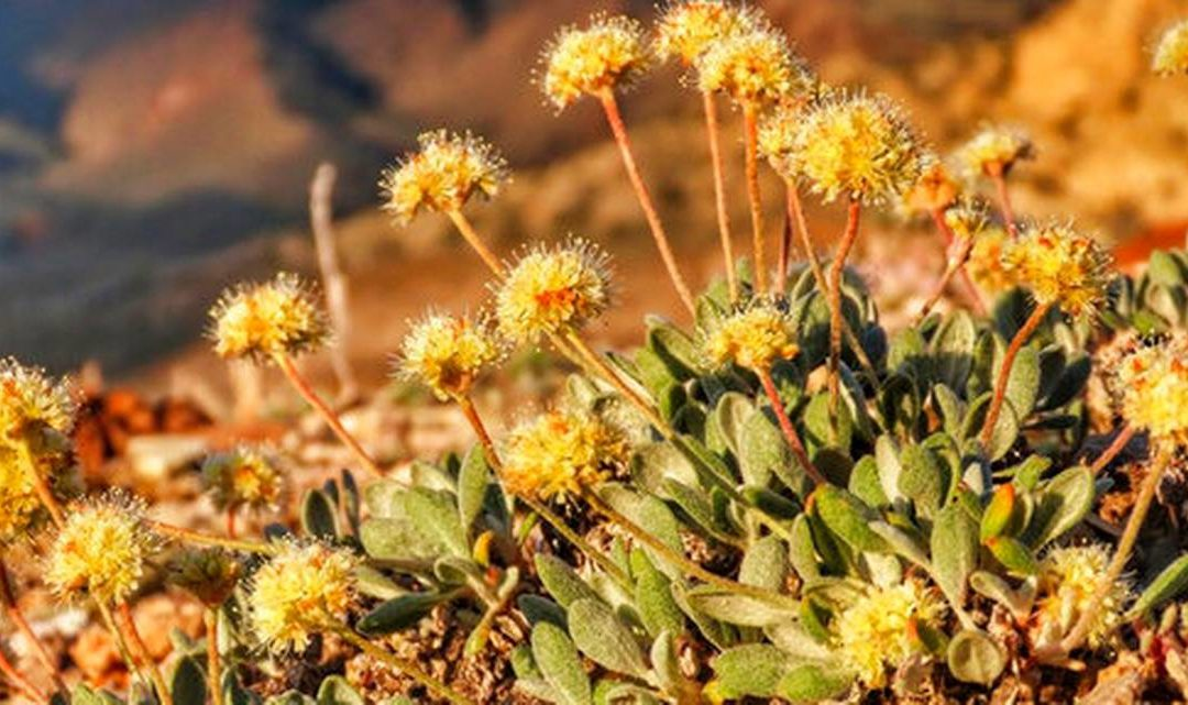 rare desert wildflower Tiehm's buckwheat