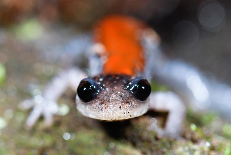The Yonahlossee salamander