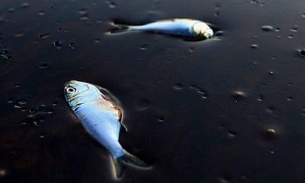 Fish dead in oil spill