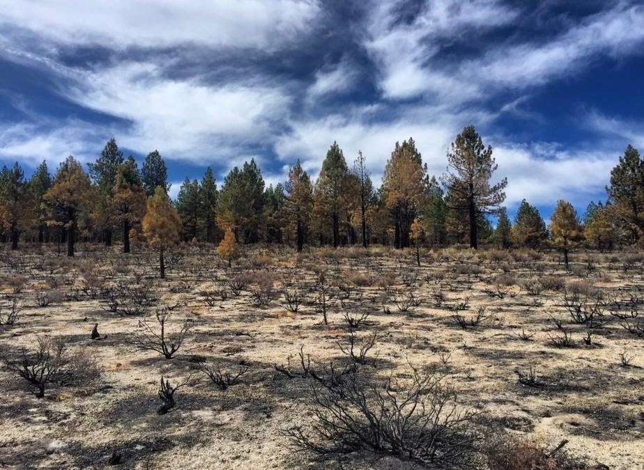 Jeffrey Pine Forest, burned