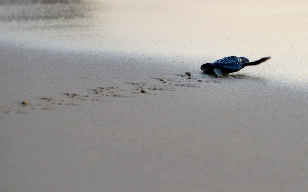 A sea turtle hatchling headed for the ocean