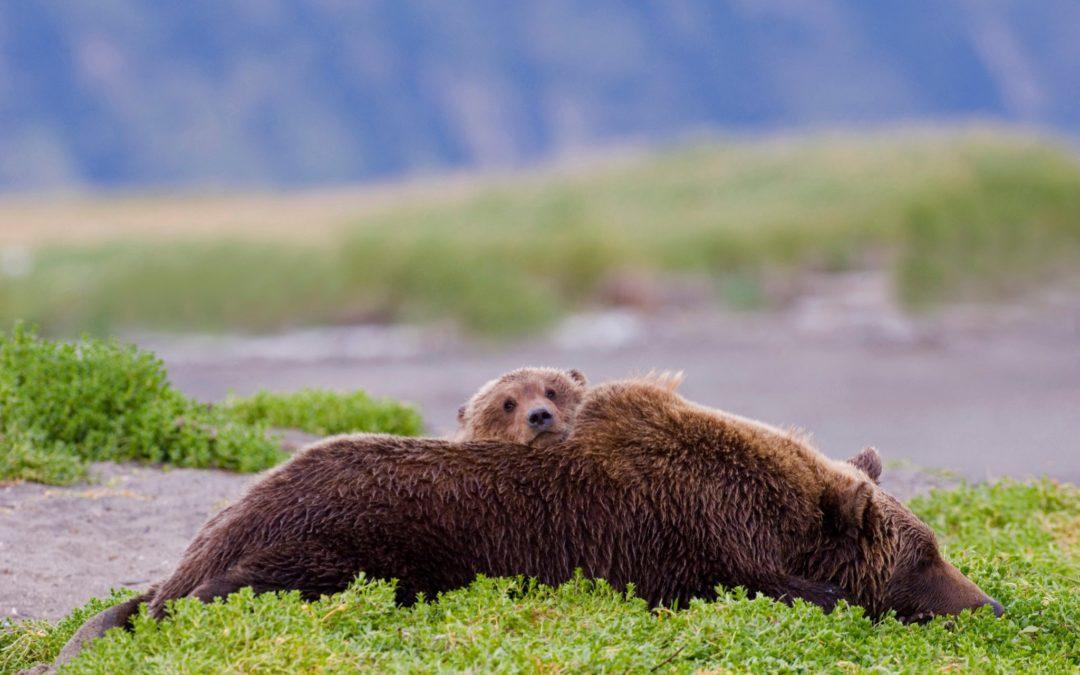 New Trump public land rules will let Alaska hunters kill bear cubs in dens