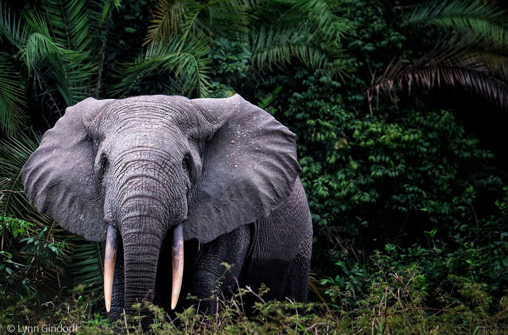Forest elephant populations smaller than previously thought