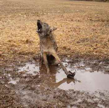 Wolf with leg caught in trap