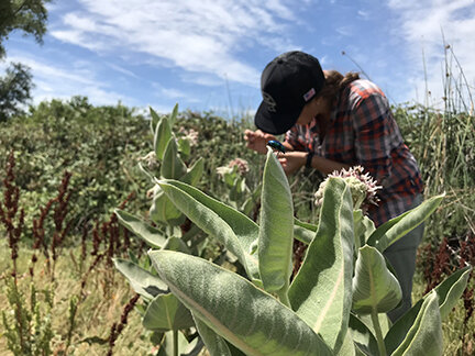 Milkweed, only food source for monarch caterpillars, ubiquitously contaminated