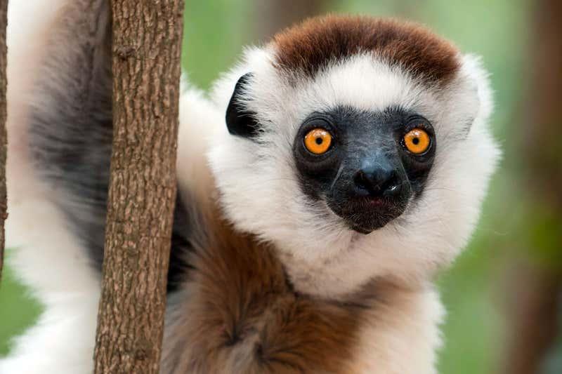 Lemur, in Madagascar