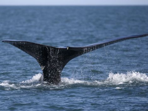 North Atlantic right whales nearing extinction, international nature body says