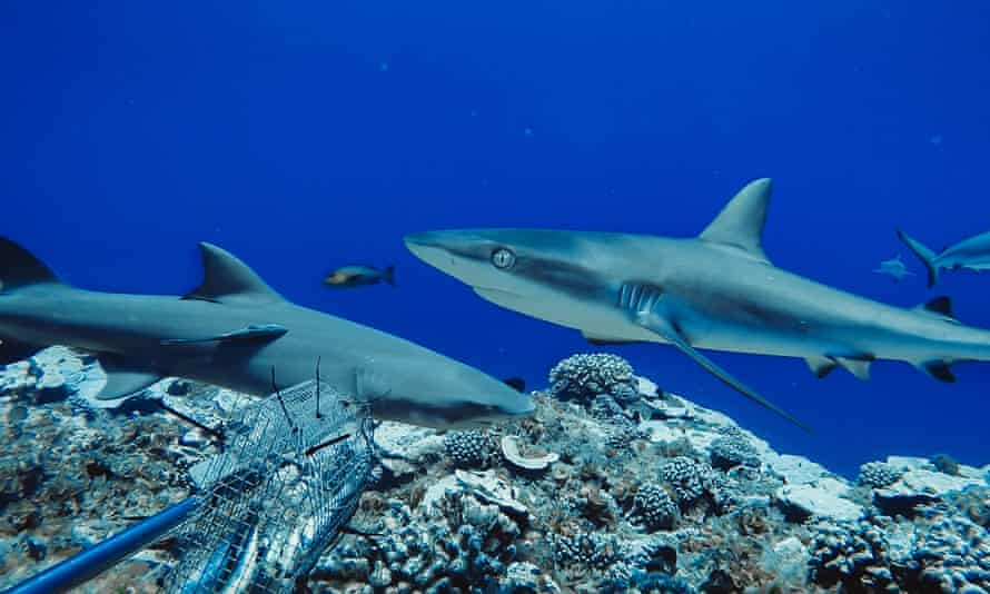 Sharks 'functionally extinct' at 20% of world's coral reefs as fishing drives global decline