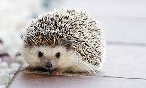 British hedgehog now officially classified as vulnerable to extinction