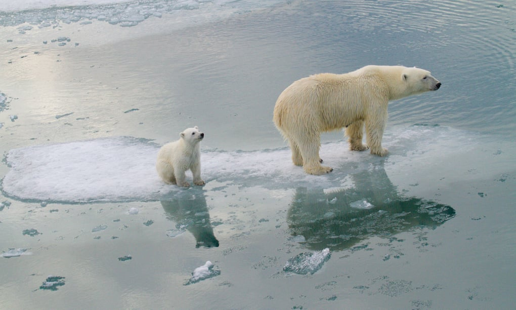 Most polar bears to disappear by 2100, study predicts