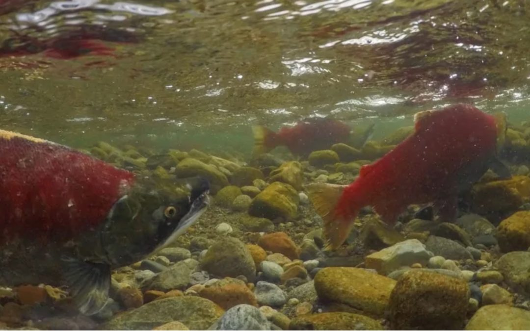'Quite dire': Fraser River sockeye salmon run expected to be worst ever recorded