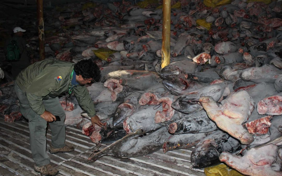 300 tonnes of mostly sharks, including protected species on Chinese fishing vessel