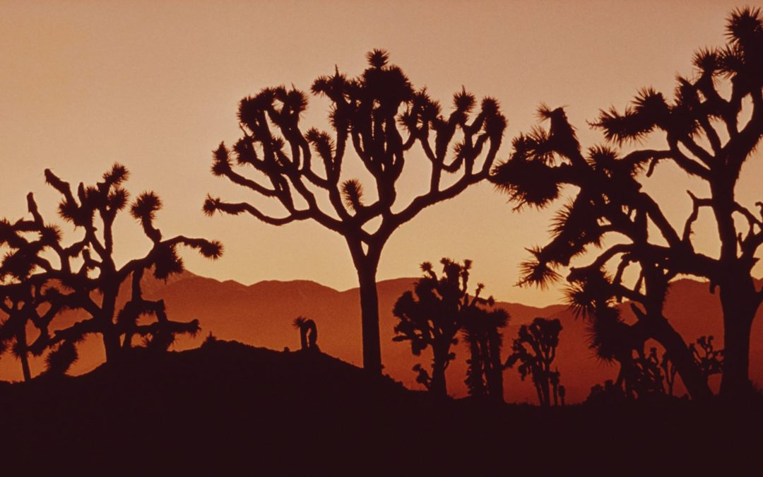 The Fight to Save the Joshua Tree Has a Surprising Foe—the Solar Industry