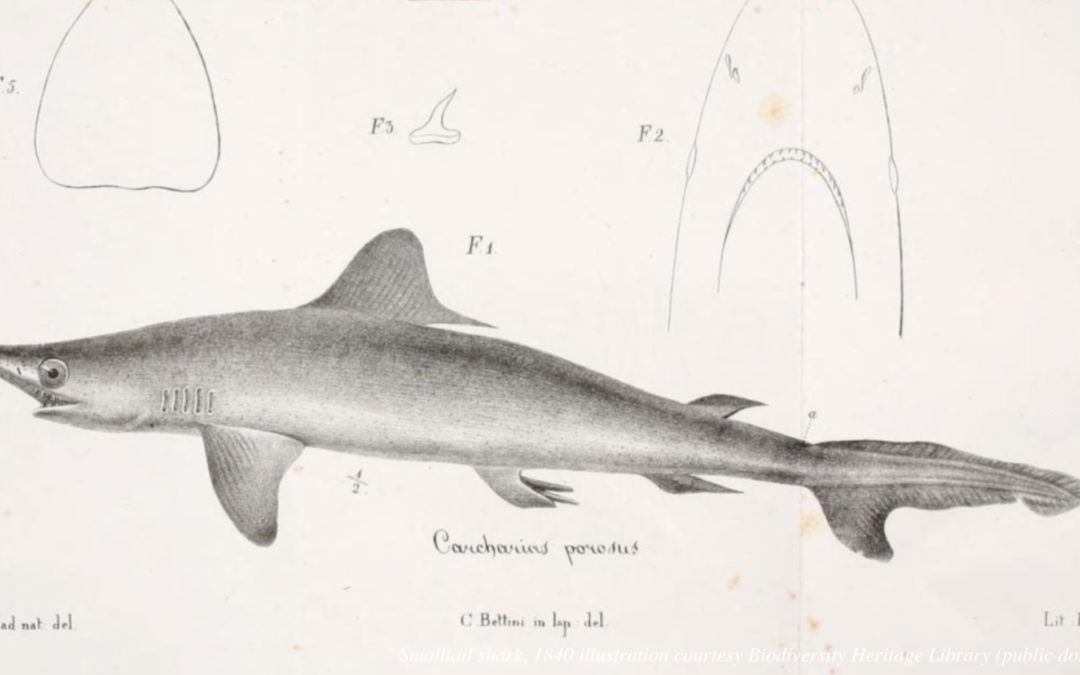 From Abundant to Critically Endangered: Shark Species Nearly Vanishes in Just 40 Years