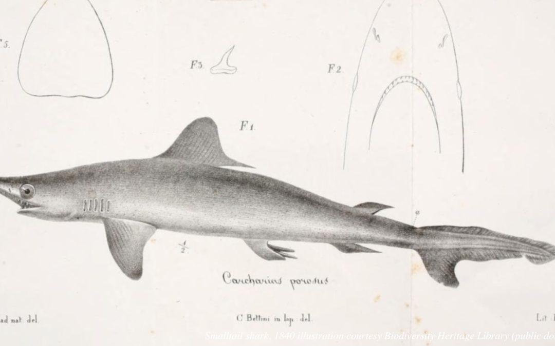 Smalltail Shark