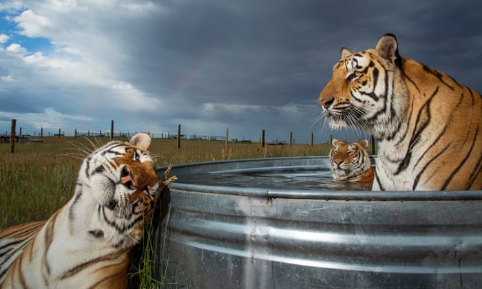 'It's pretty messed up': Americans' deadly love for tigers