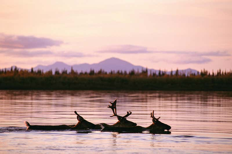 Arctic animals are migrating earlier in the year due to climate change