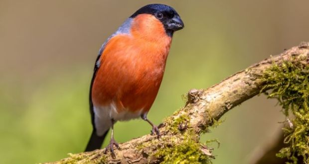 Poaching of wild songbirds so lucrative criminals are monitoring nests