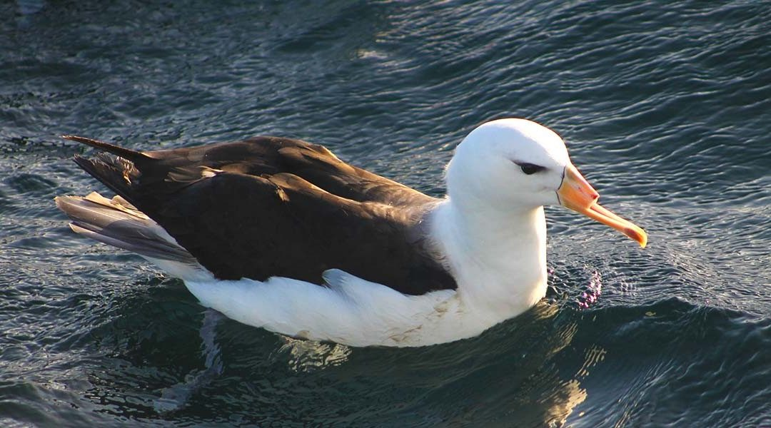 albatross with cut off beak
