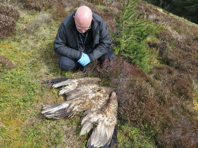 Police officer with white-tailed eagle, found illegally poisoned with a banned pesticide on a grouse moor inside the Cairngorms National Park