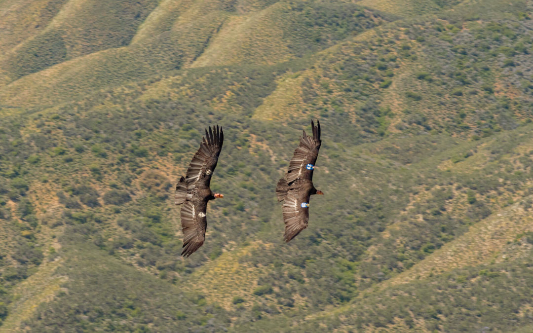 Two California Condors soar above forested hills.