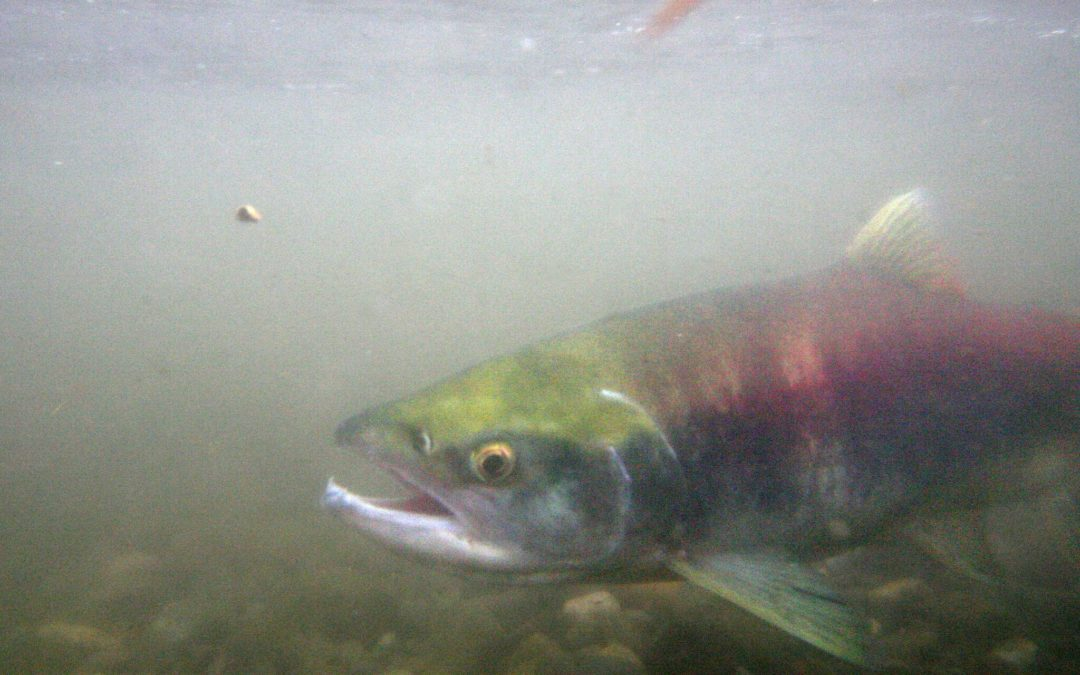 Lake Washington sockeye hit record low, another signature Seattle fish at brink of extinction