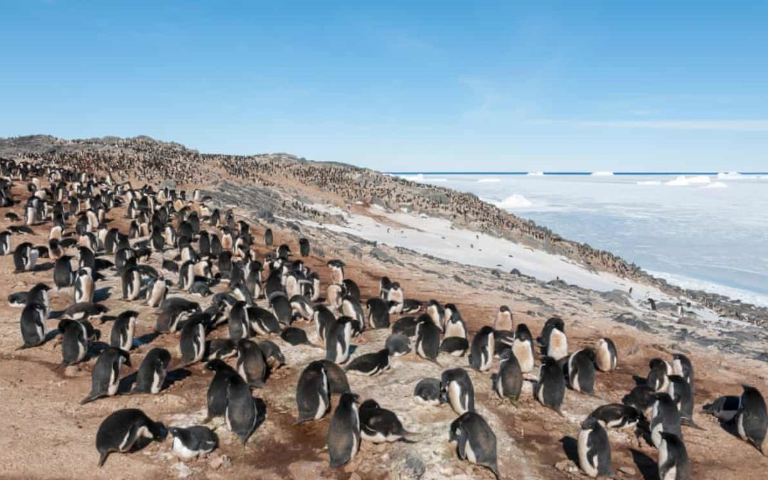 Adelie penguin near Davis research station