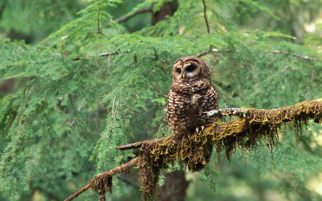 Trump Opens Habitat of a Threatened Owl to Timber Harvesting