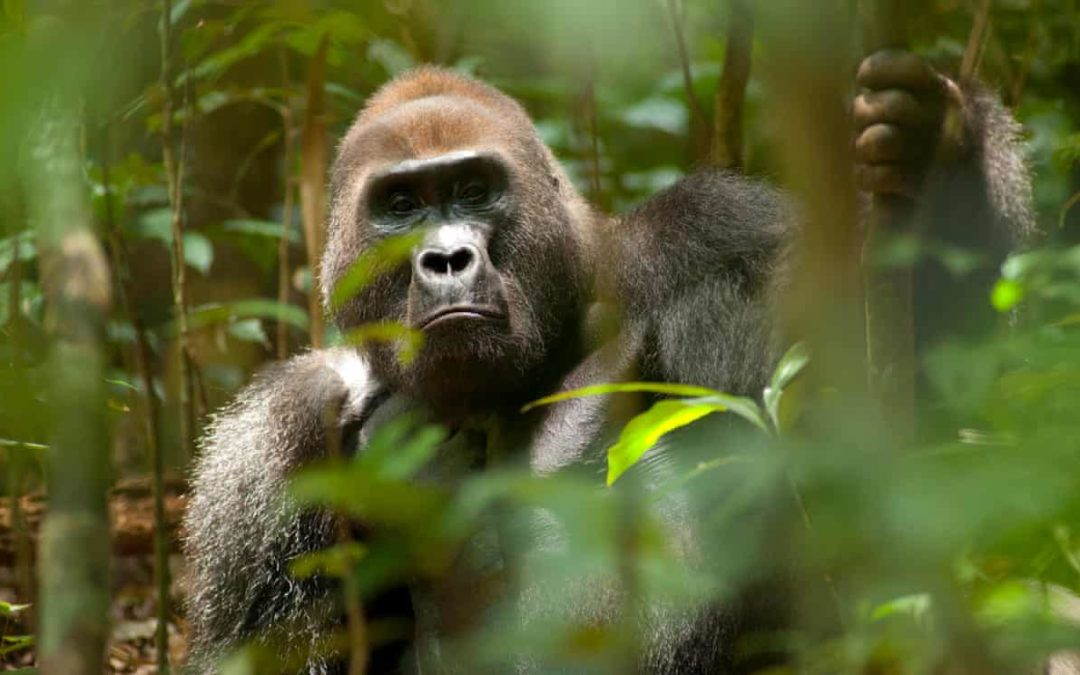 Great apes predicted to lose 90% of homelands in Africa