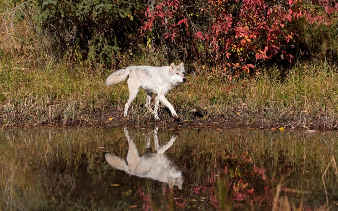 New Idaho Law Calls For Killing 90% Of The State's Wolves