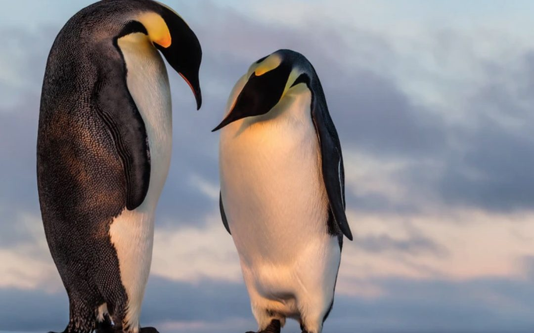Ice melt risks 98% of Emperor penguin colonies by 2100